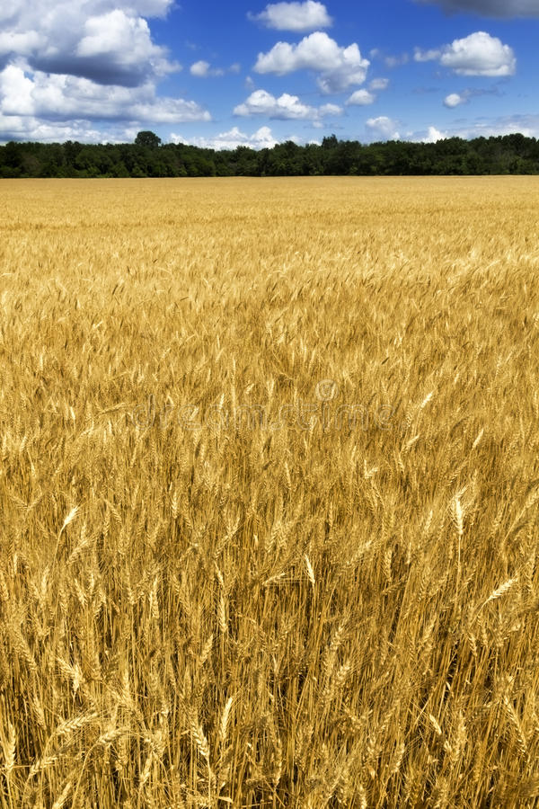 Giacimento di grano giallo dorato luminoso sotto il blu profondo S fotografia stock