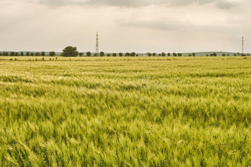 Giacimento di grano ibrido che emette luce alla luce di tramonto, con una linea di alberi nella distanza - vicino al villaggio di fotografie stock libere da diritti