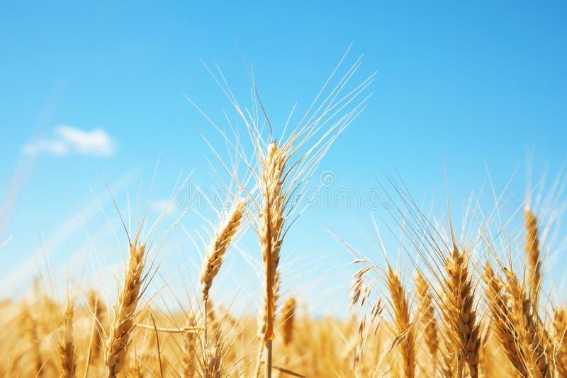 Giacimento di grano il giorno soleggiato fotografie stock libere da diritti