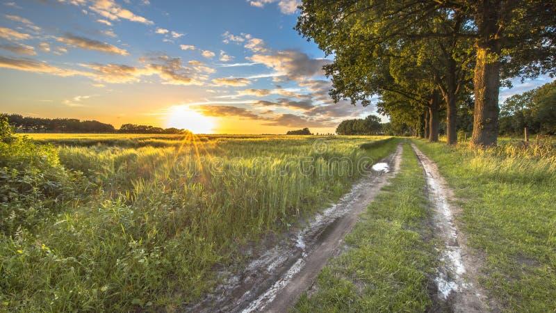 Giacimento di grano lungo la pista con le grandi vecchie querce fotografia stock