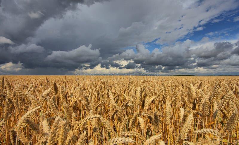 Giacimento di grano minacciato dal tempo fotografia stock libera da diritti