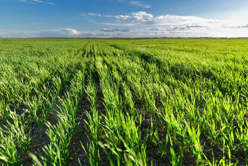 Giacimento di grano nel vento, mosso fotografia stock libera da diritti