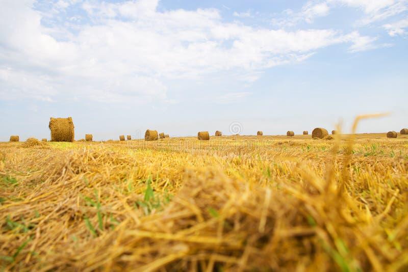 Giacimento di grano oblungo dell'oro, cielo blu con le nuvole bianche fotografia stock