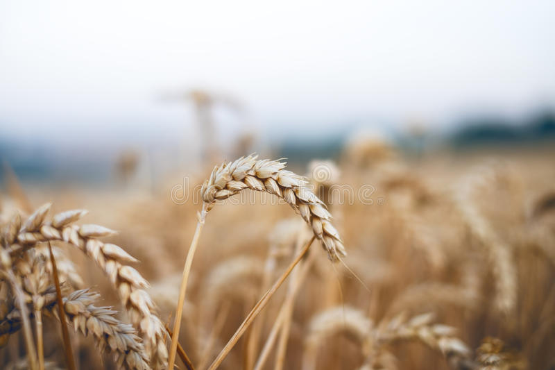 Giacimento di grano in un giorno di estate Sfondo naturale tempo soleggiato Scena rurale e luce solare brillante agricolo immagine stock libera da diritti