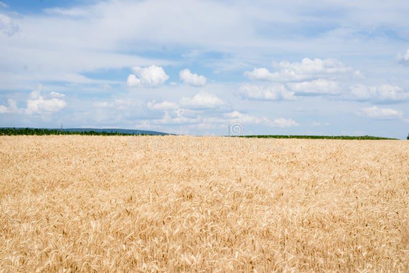 Giacimento di grano in un lato del paese fotografia stock libera da diritti