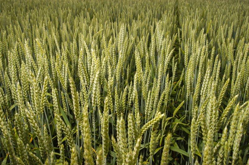 Giacimento di grano verde fotografie stock libere da diritti
