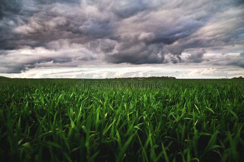 Giacimento di grano verde con le nuvole basse e le nuvole drammatiche dopo il tramonto Contrasto ricco immagini stock libere da diritti