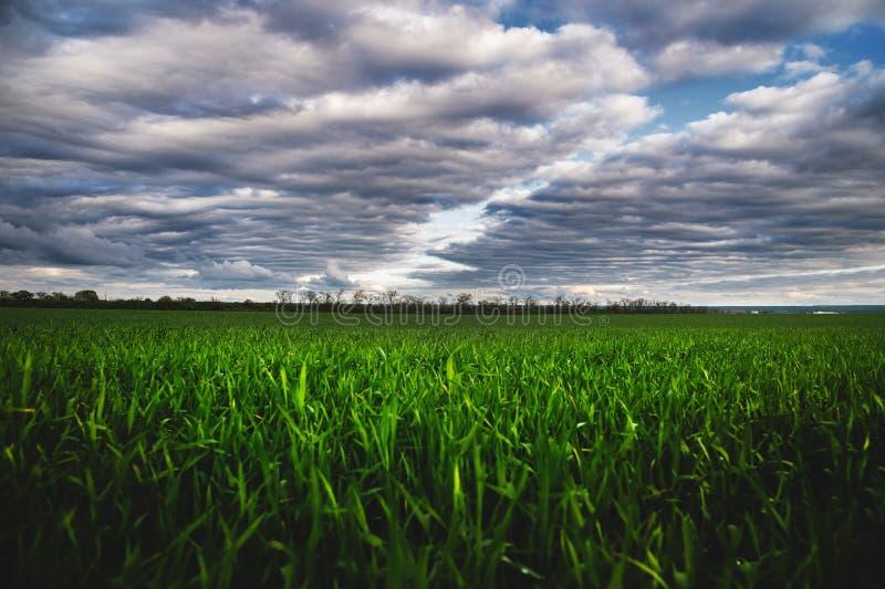 Giacimento di grano verde con le nuvole basse e le nuvole drammatiche dopo il tramonto Contrasto ricco fotografia stock libera da diritti