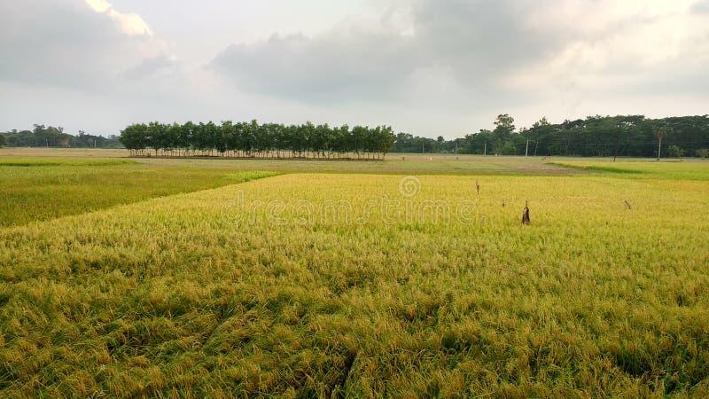 Giacimento dorato del riso immagini stock