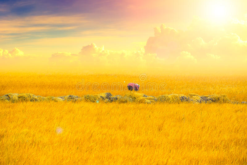 Giacimento dorato del riso con il bello cielo di lustro del sole fotografie stock