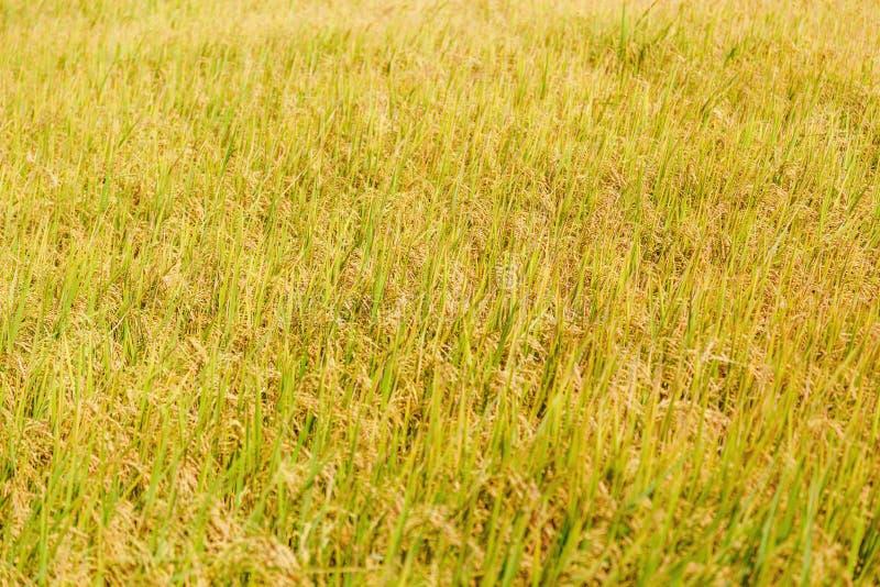 Giacimento dorato del riso immagine stock libera da diritti