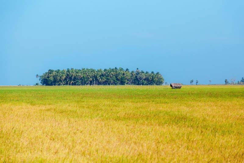 Giacimento dorato del riso fotografia stock libera da diritti