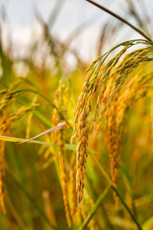 Giacimento dorato del riso fotografia stock