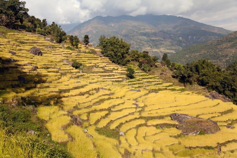 Giacimento dorato del riso nel Nepal immagine stock