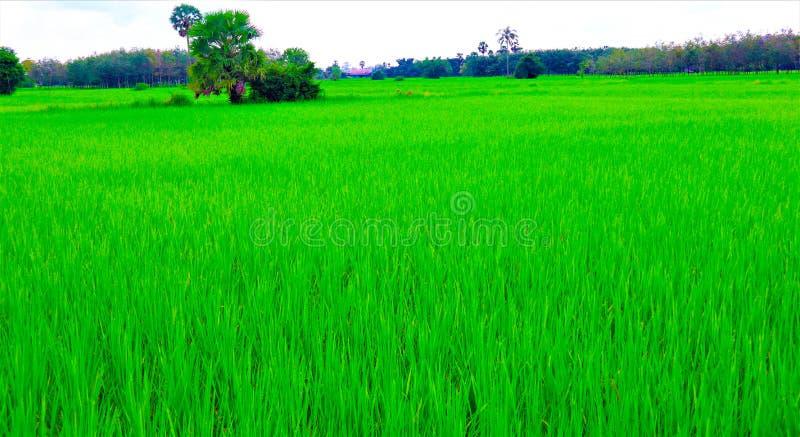 Giacimento e cielo del riso immagine stock