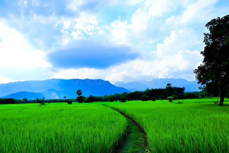 Giacimento e cielo del riso fotografia stock libera da diritti