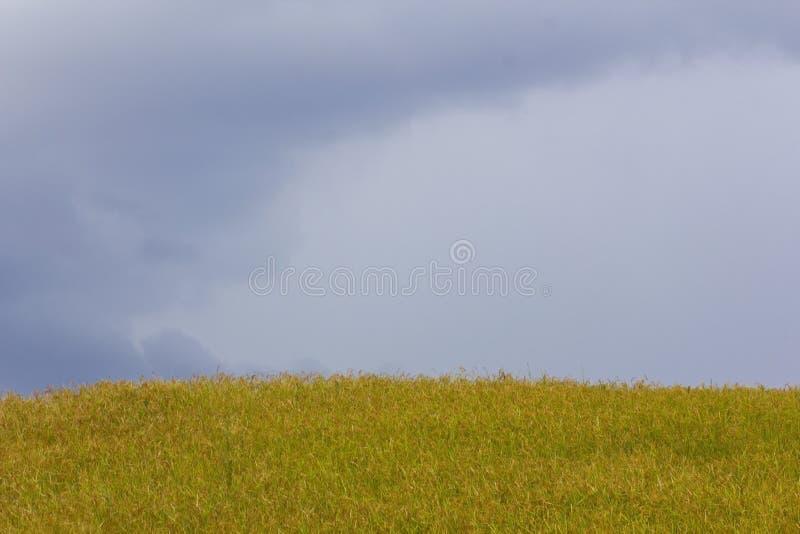 Giacimento e cielo dorati del riso fotografie stock