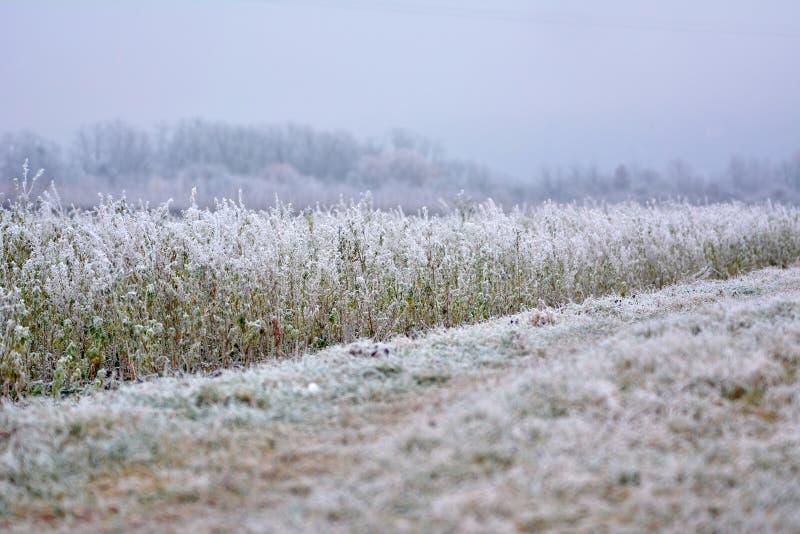 Giacimento e sentiero per pedoni del Canola coperti nel gelo nell'inizio dell'inverno in anticipo immagini stock libere da diritti