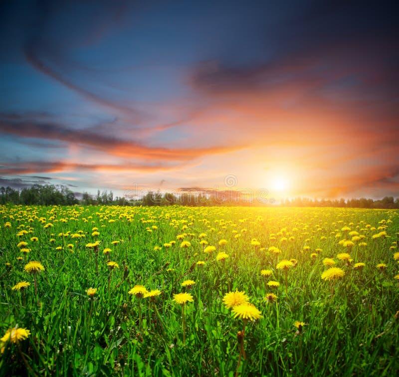Giacimento e tramonto di fiori gialli fotografie stock libere da diritti