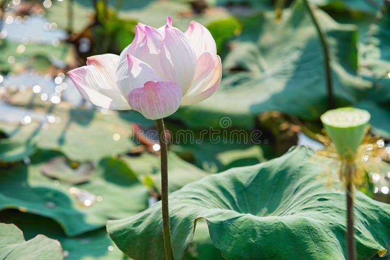 Giacimento ed azienda agricola di fiori rosa di Lotus in Siem Reap Cambogia fotografie stock libere da diritti