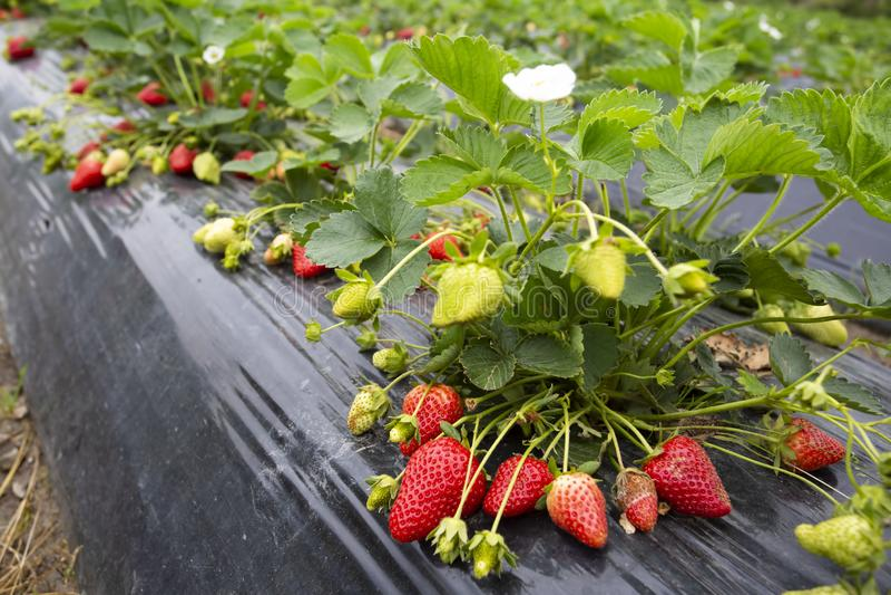 Giacimento Emiralem/Smirne/Turchia della fragola della frutta fresca organica e fotografia stock