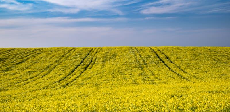 Giacimento giallo del colza oleifero fotografie stock libere da diritti