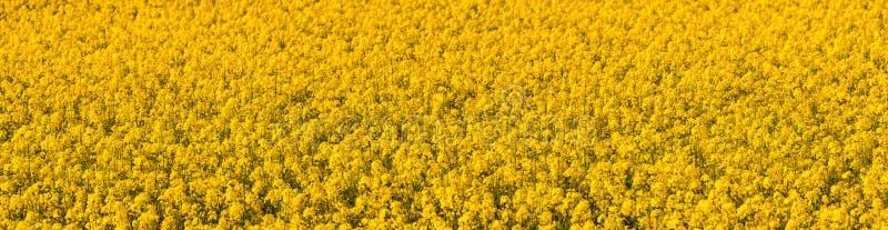 Giacimento giallo del colza oleifero Panorama immagine stock libera da diritti