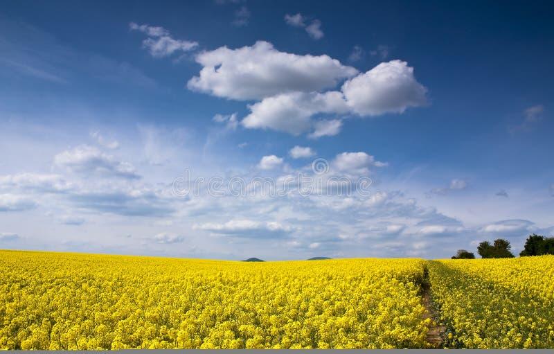 Giacimento giallo del seme di ravizzone fotografie stock