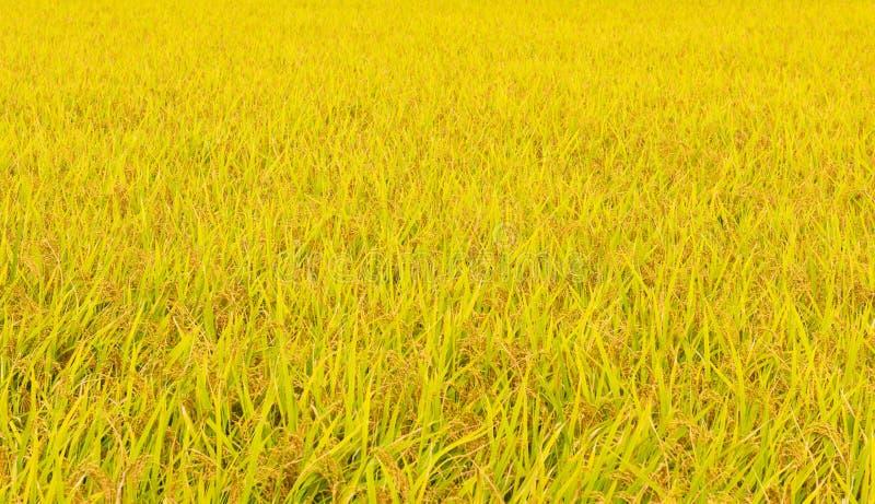 Giacimento giapponese del riso nella caduta fotografie stock libere da diritti