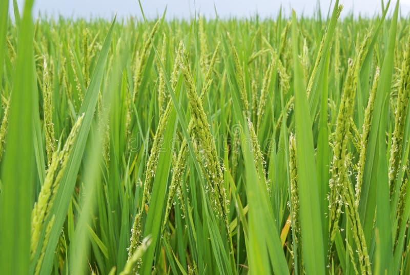 Giacimento in LongJi, Cina del riso immagini stock