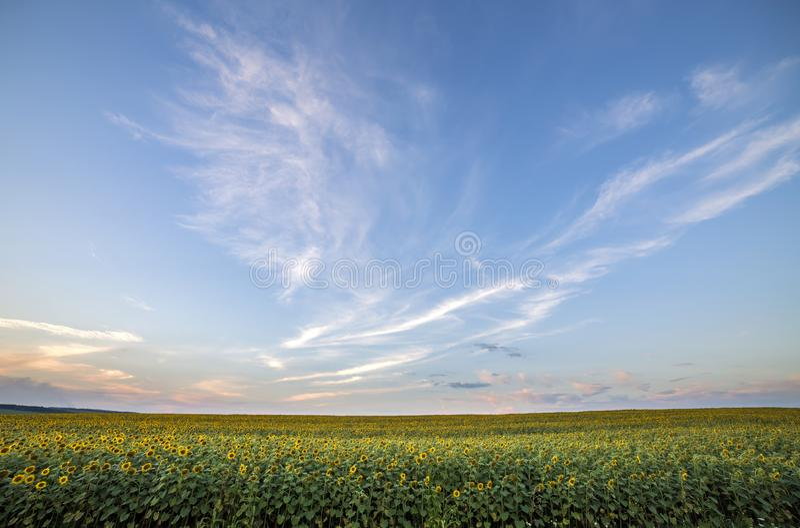 Giacimento maturo giallo luminoso di fioritura dei girasoli Agricoltura, produzione di petrolio, bellezza del concetto della natu fotografie stock