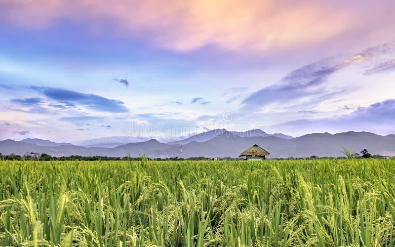 Giacimento molto vasto, vasto, esteso, spazioso del riso, allungato nell'orizzonte immagine stock libera da diritti