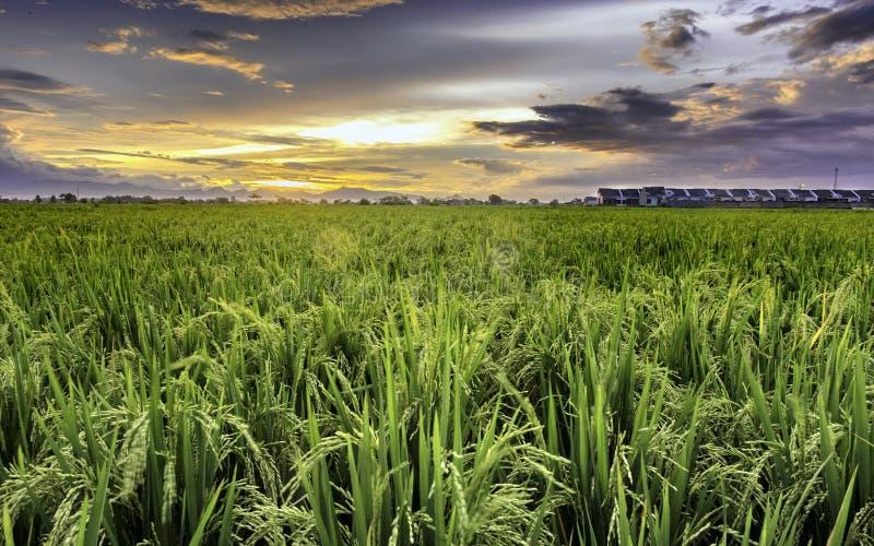 Giacimento molto vasto, vasto, esteso, spazioso del riso, allungato nell'orizzonte fotografia stock