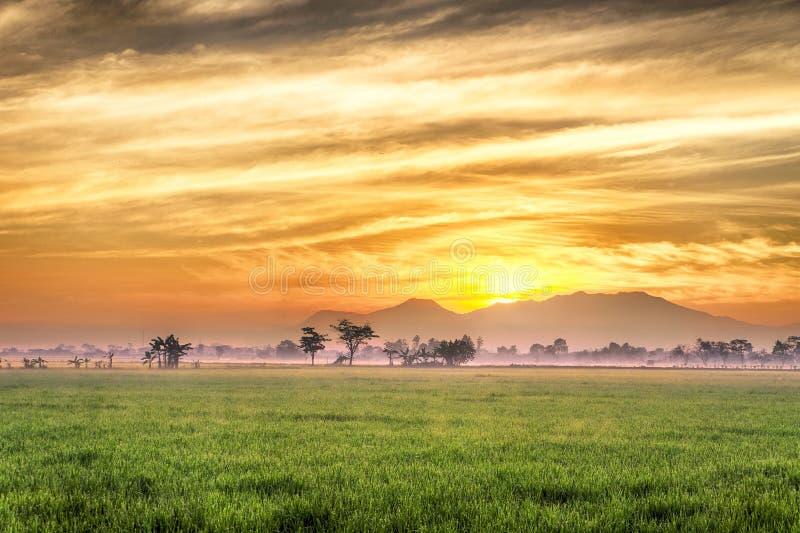 Giacimento molto vasto, vasto, esteso, spazioso del riso, streched nell'orizzonte immagine stock