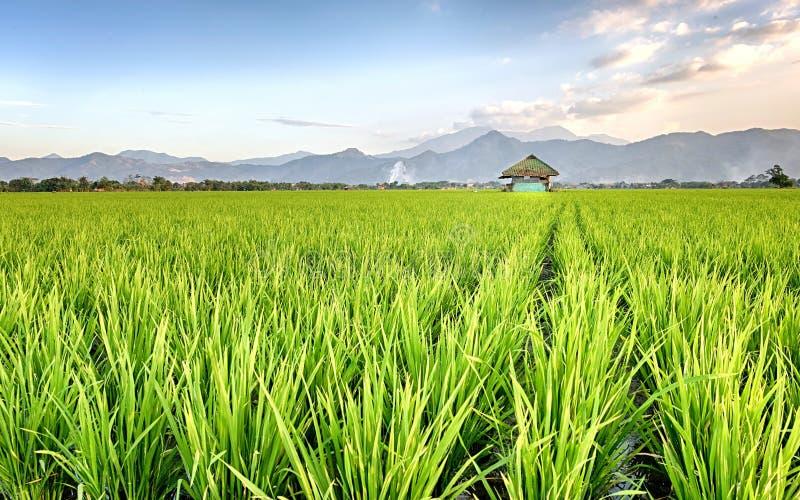 Giacimento molto vasto, vasto, esteso, spazioso del riso, streched nell'orizzonte fotografie stock