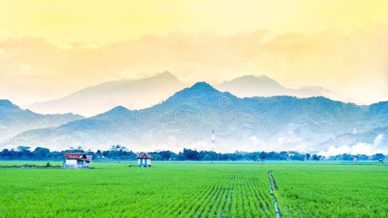 Giacimento molto vasto, vasto, esteso, spazioso del riso, streched nell'orizzonte immagini stock