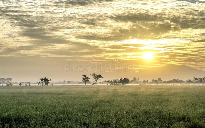Giacimento molto vasto, vasto, esteso, spazioso del riso, streched nell'orizzonte immagine stock libera da diritti
