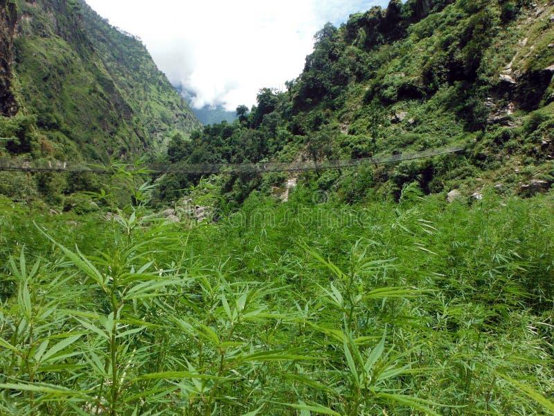 Giacimento selvaggio della marijuana prima di un ponte sospeso in Himalaya immagini stock