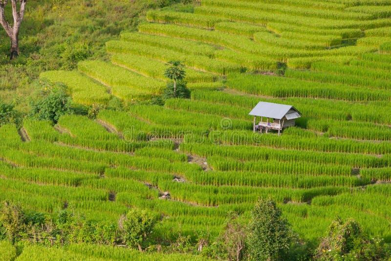 Giacimento a terrazze verde del riso in Chiangmai, Tailandia (Foc selettivo fotografia stock libera da diritti