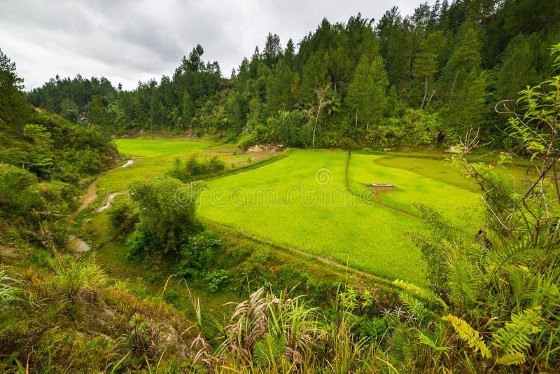 Giacimento verde fertile del riso, paesaggio espansivo in Indonesia fotografia stock libera da diritti