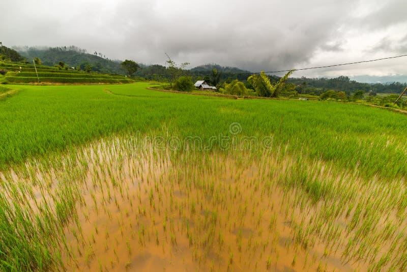 Giacimento verde fertile del riso, paesaggio espansivo in Indonesia fotografie stock libere da diritti