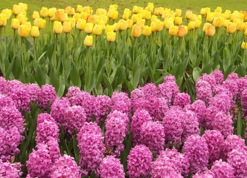 Giacinti dentellare e tulipani gialli fotografia stock