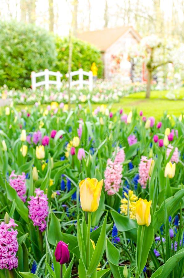 Giacinti porpora che fioriscono in primavera fra il giacimento di fiore variopinto dei tulipani al giardino di Keukenhof nei Paes immagini stock