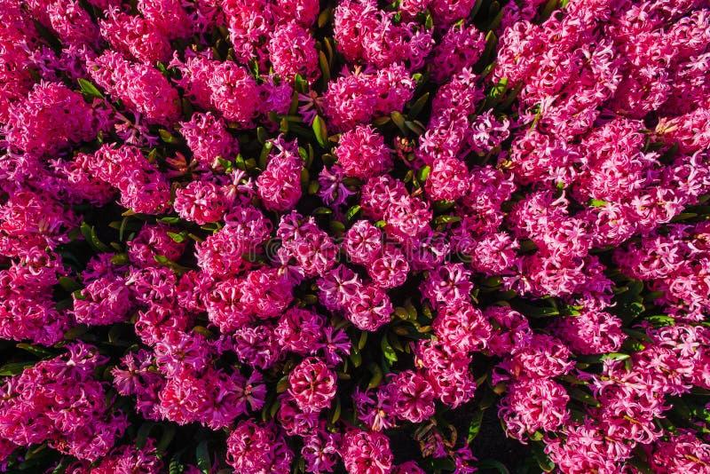 Giacinti rosa immagini stock