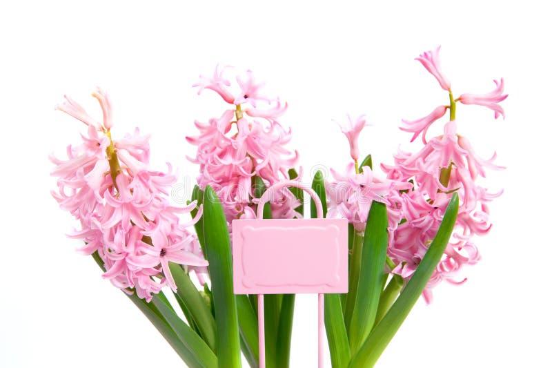 Giacinti rosa su fondo bianco immagine stock libera da diritti