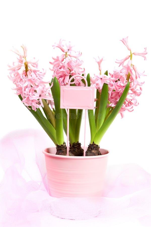 Giacinti rosa in vaso decorato del giardino fotografie stock