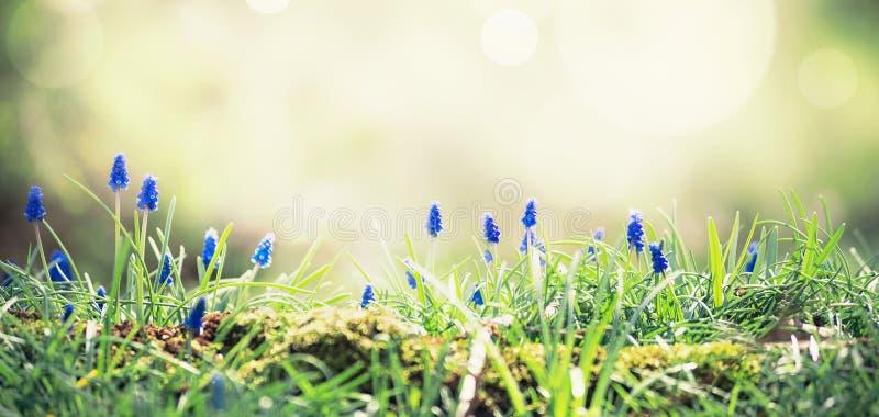 Giacinti selvaggi a luce solare sulla radura della foresta Priorit? bassa della natura della sorgente Primavera all'aperto immagine stock libera da diritti