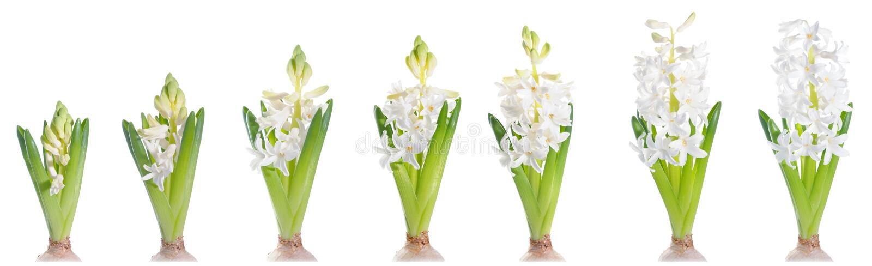 Giacinto bianco crescente della perla, isolato su bianco fotografie stock