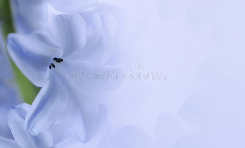 Giacinto del fiore su fondo blu-chiaro fine bianca Blu del giacinto dei petali su Composizione floreale Cartolina per la festa fotografia stock libera da diritti