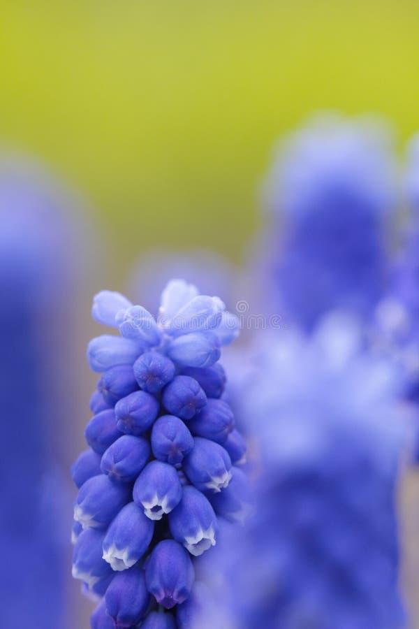 Giacinto dell'uva - armeniacum del Muscari fotografie stock libere da diritti